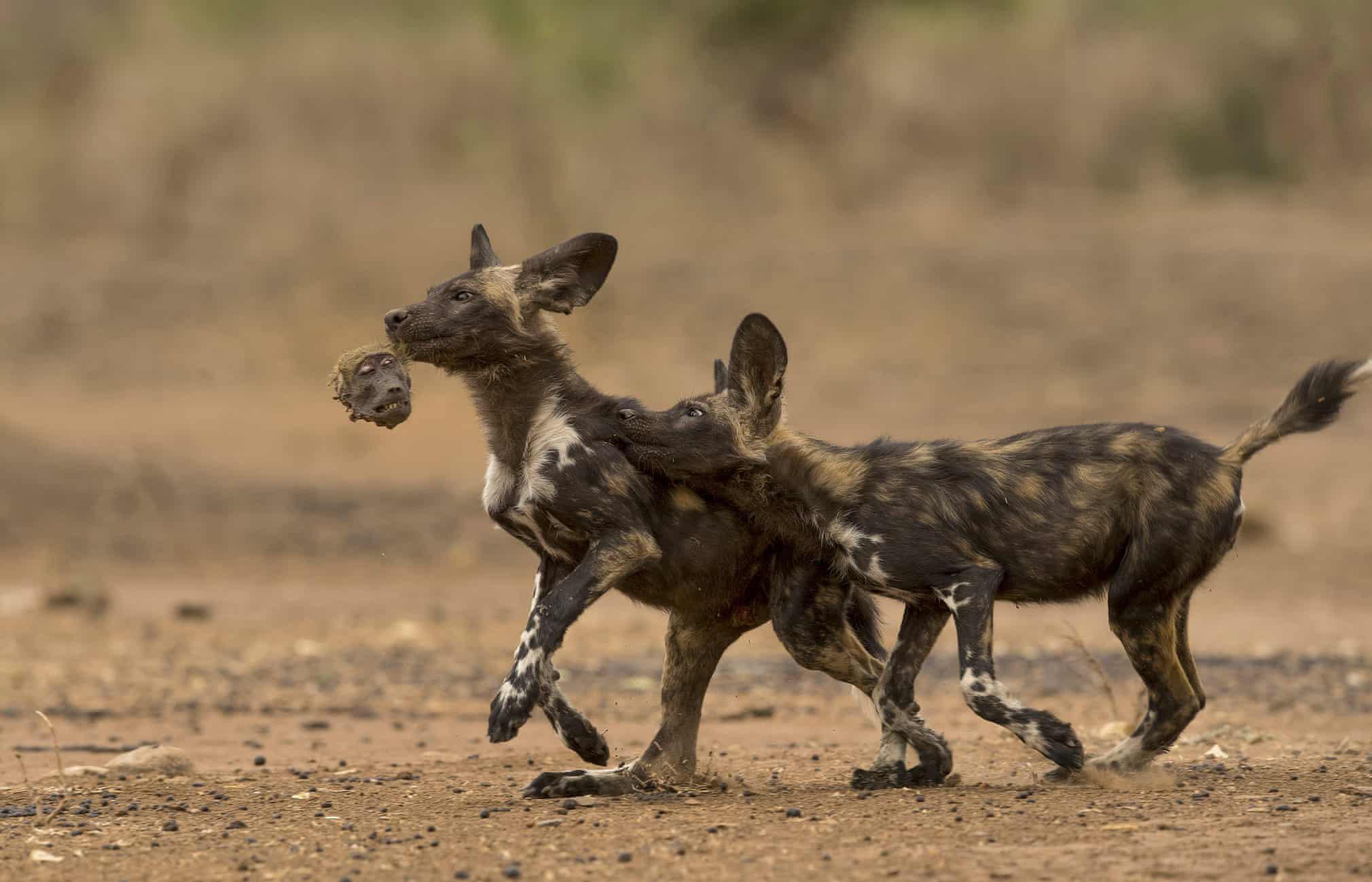 Гиеновидные собаки резвятся сголовой медвежьего павиана, которого они съели назавтрак.