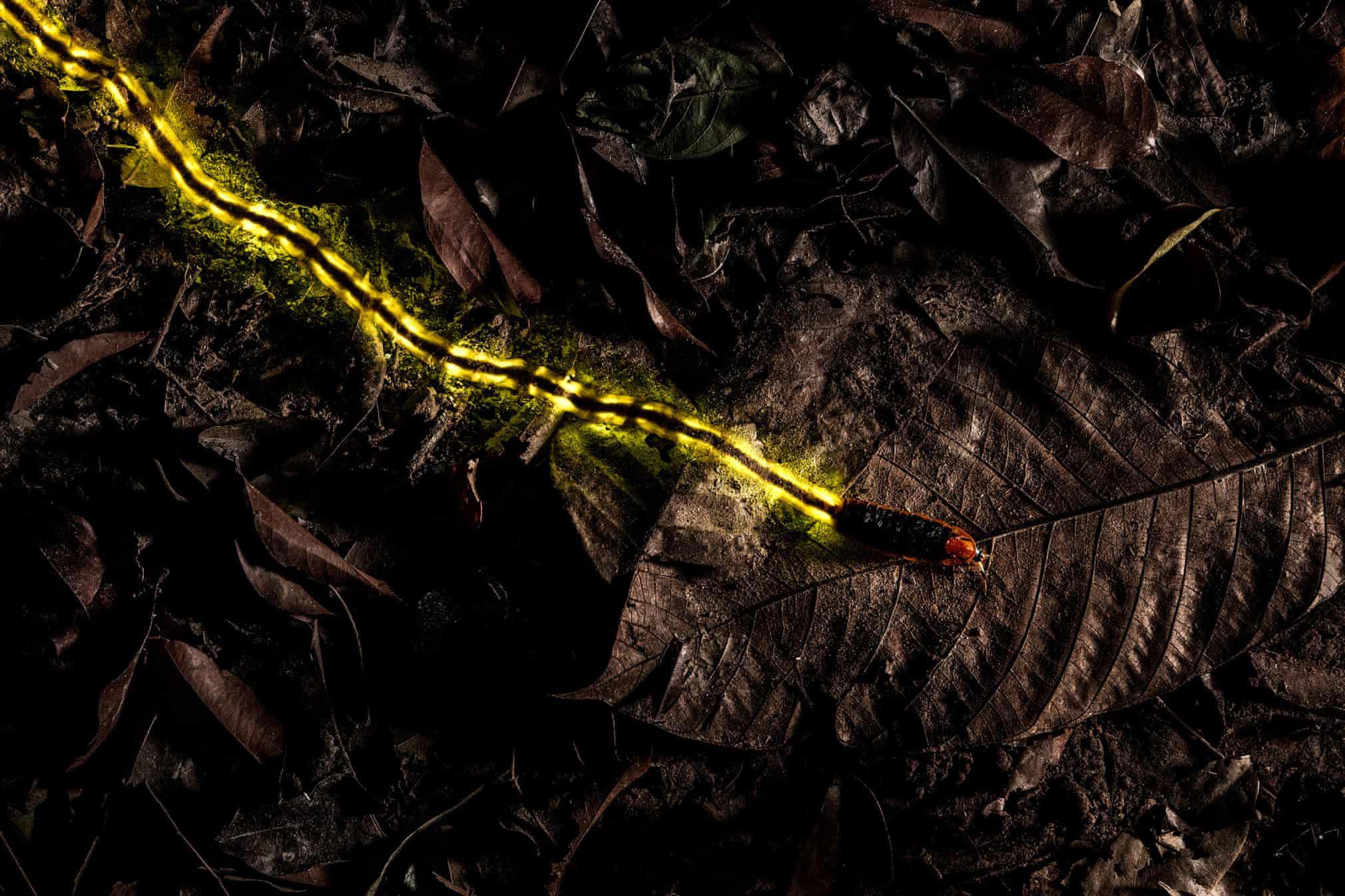 Крупный светлячок (около восьми сантиметров длиной) излучает свечение. Уэтого вида насекомых свечение служит способом коммуникации ипроисходит засчет специальных органов — лантернов, расположенных напоследних брюшных сегментах.