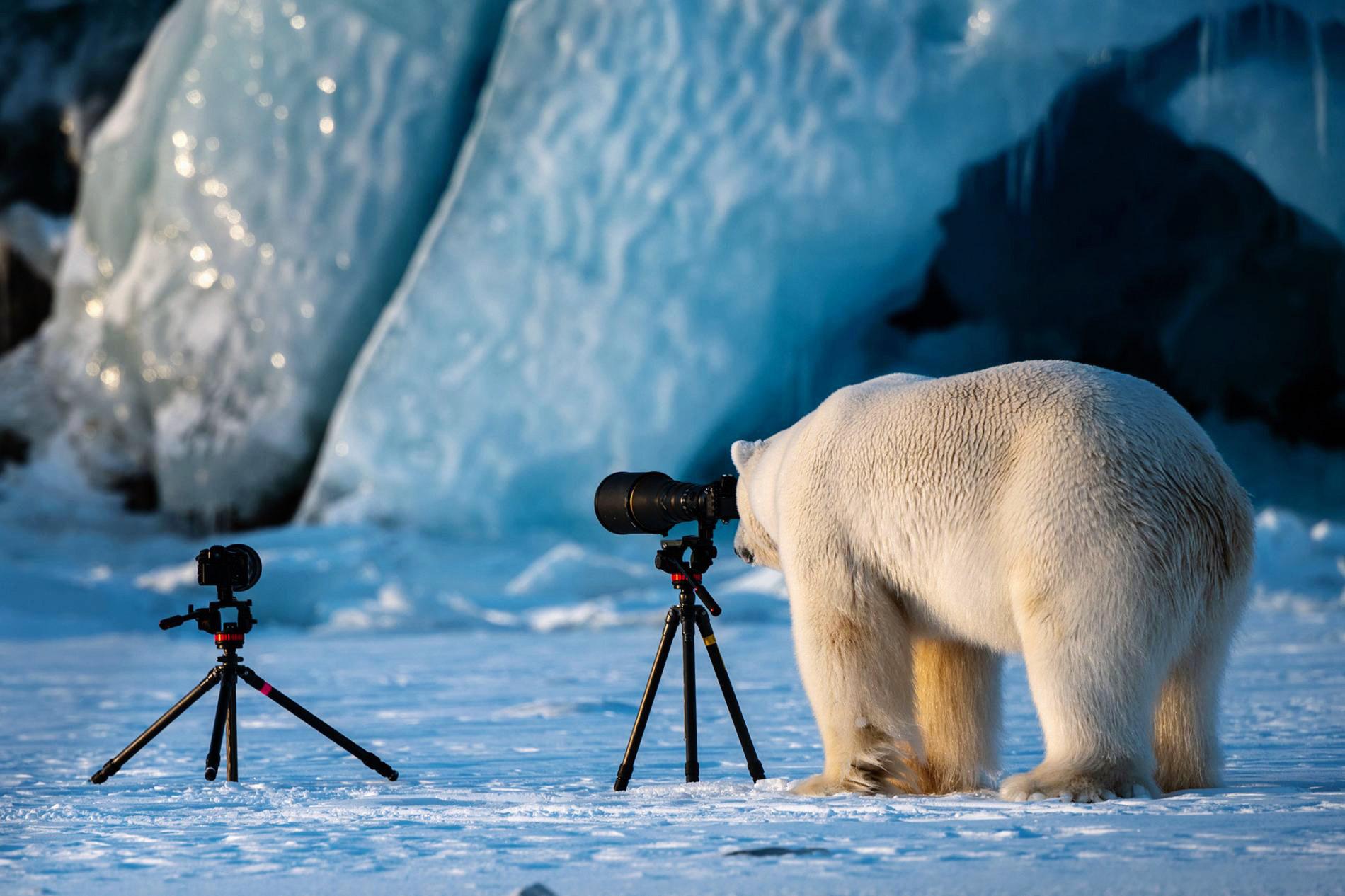 Полярный медведь упражняется вфотографии, Свальбард, Норвегия.