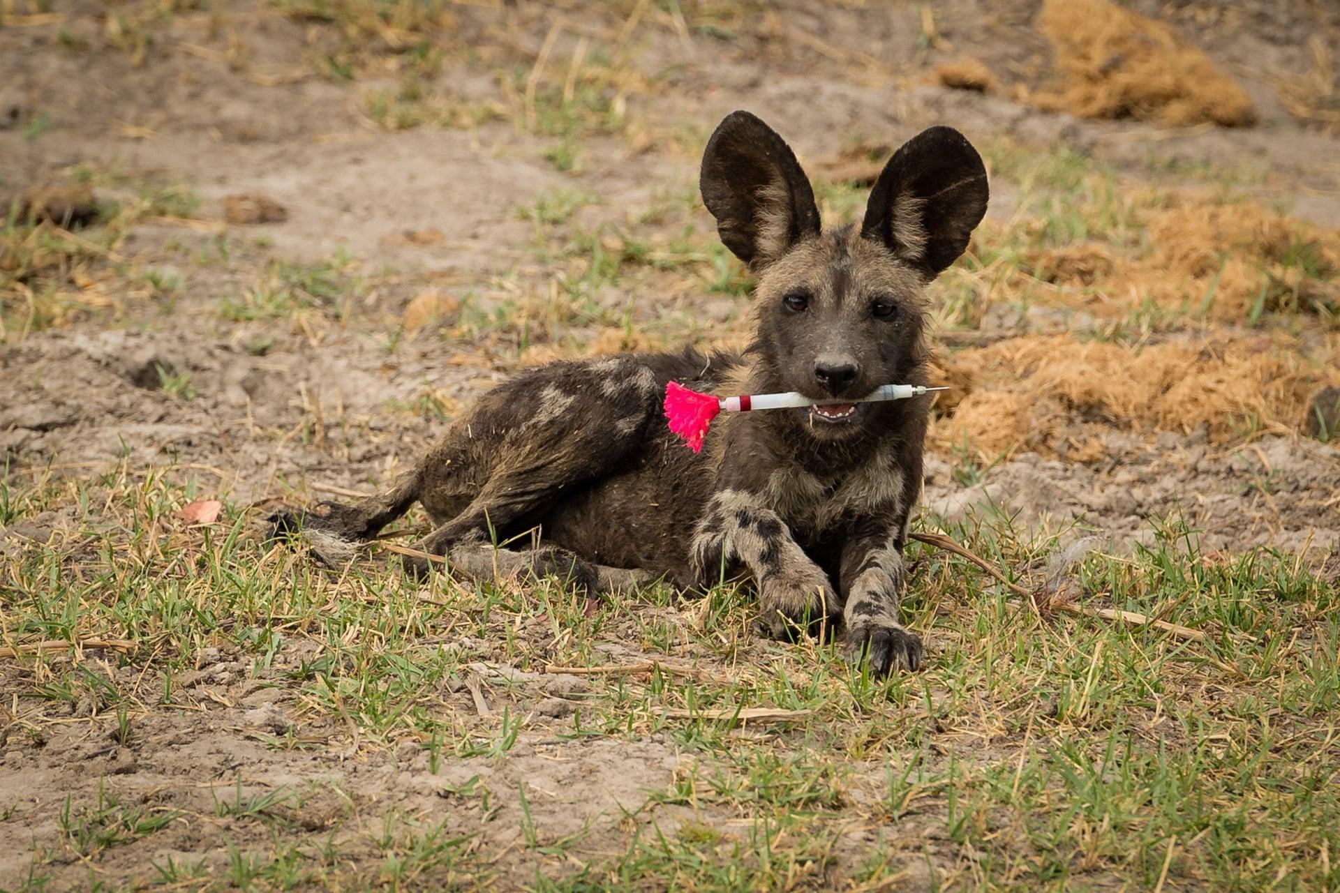 Щенок гиеновидной собаки играет сдротиком странквилизатором. Им экологи анестезировали взрослую гиеновидную собаку, а щенок, очевидно, нашел дротик иприсвоил его. Фото сделано вОкаванго, Ботсвана.