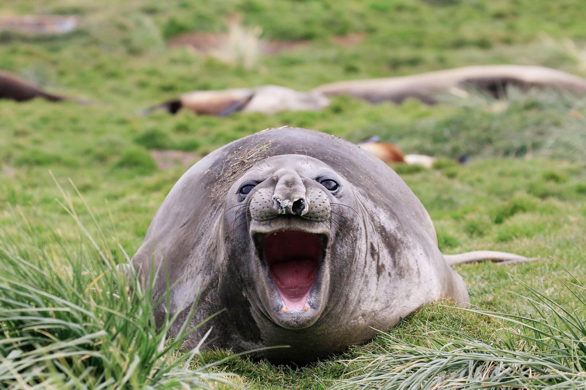 Тюленю вЮжной Георгии тоже кажутся забавными все эти фотографии.