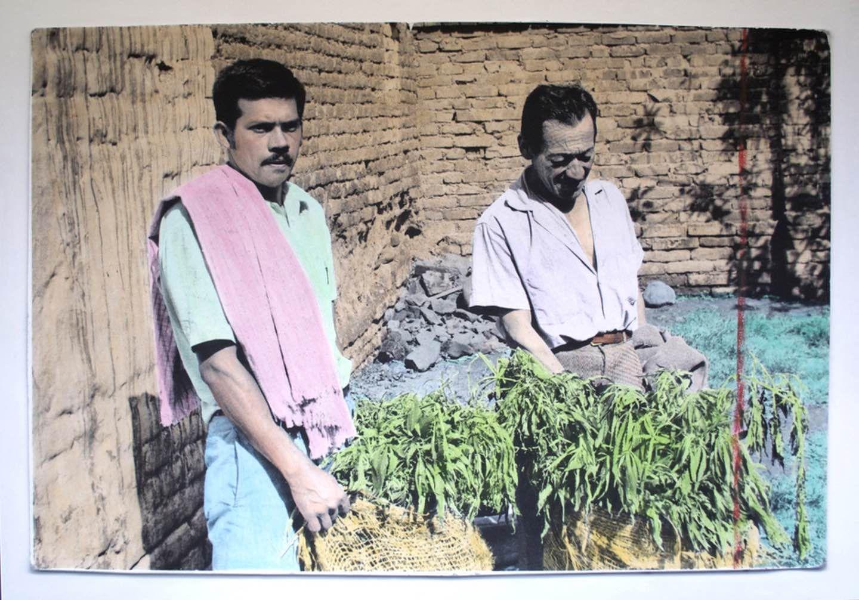Фермеры смешками марихуанны.
