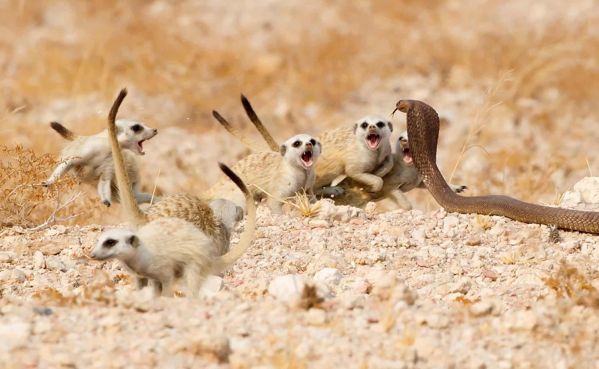 Группа детенышей суриката защищается откобры. Они рычали иотбивались втечение десяти минут, пока змея несдалась ине отползла.