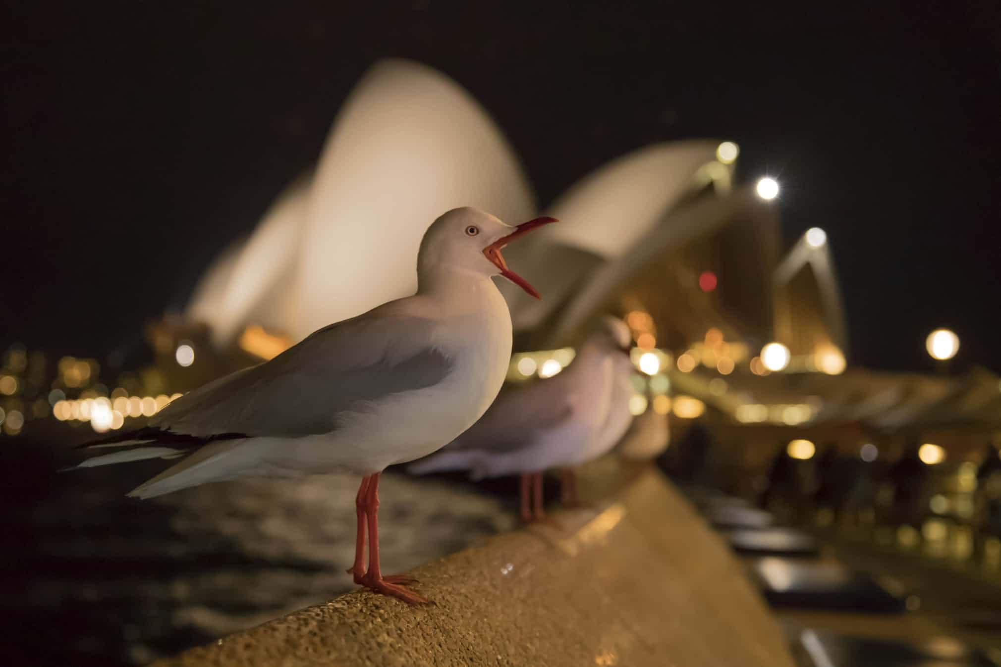 Категория «Садовые игородские птицы», третье место: австралийская чайка, фотограф — Кевин Соуфорд, Великобритания