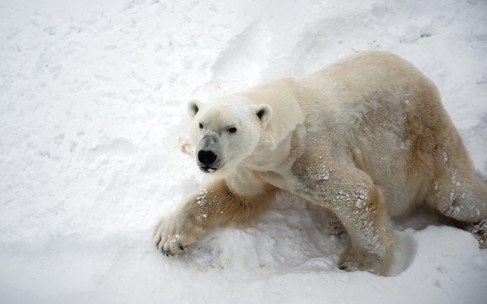 Эксперты WWF назвали причину нашествия белых медведей вАрхангельской области