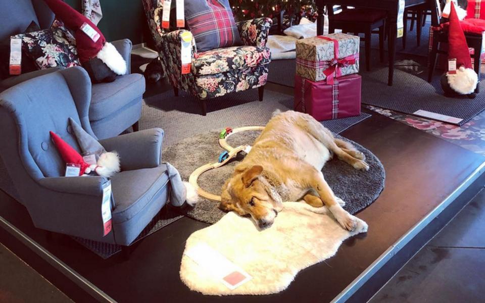 Посмотрите набездомных собак, которые живут вшоуруме Ikea вИталии