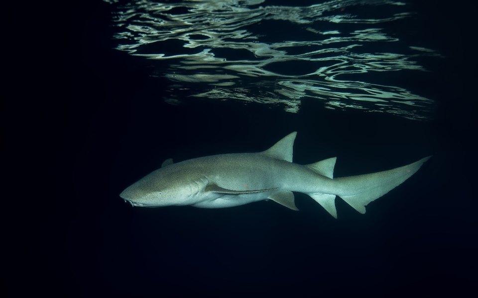 Австралийка голыми руками поймала акулу ивыпустила ее вокеан